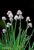 HS35-002a  Chives - in flower - Allium schoenoprasum