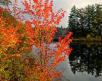 Sunrise light on maple tree along Floodwood Pond; St. Regis Canoe Area;  Adirondack and Preserve, NY