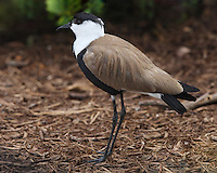 The bird got its name because of a spur (a small claw) hidden in each of its wings (seen here).<br /> The Spur-winged Plover is known to sometimes use the wing-claws in an attack on animals and, rarely, people, who get too close to the birds' exposed offspring.