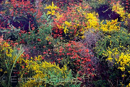 Spring wildflowers (Kennedia and Acacia spp). Undergrowth in Karri forest, southwest Western Australia