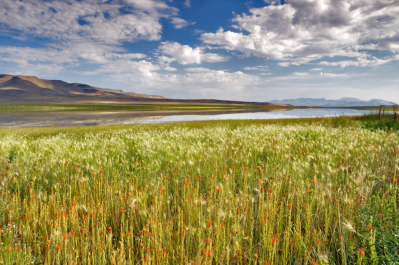 Grassy meadow and Indian Paintbrush wildflowers on shore of Gridley Lake. Nevada