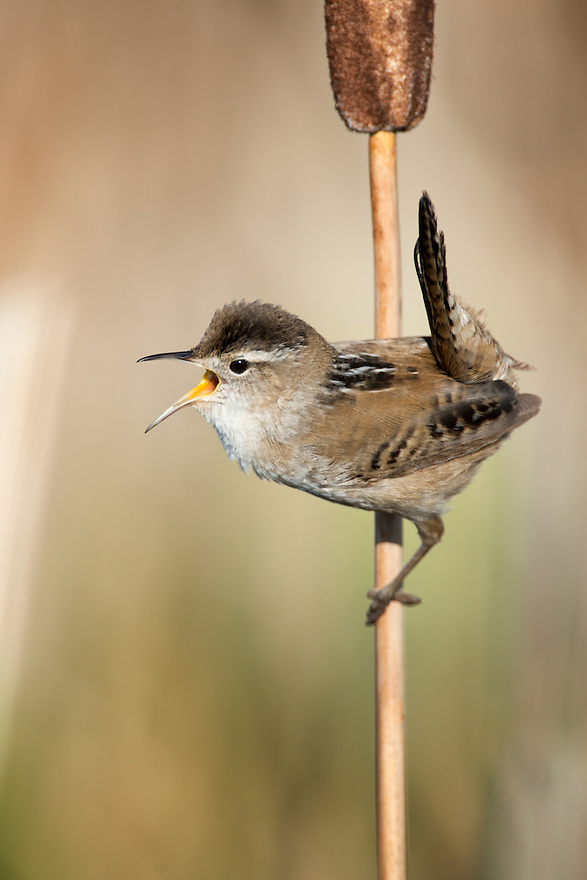 A Marsh Wren calls from a cattail near a wetland outside Three Forks, Montana.
