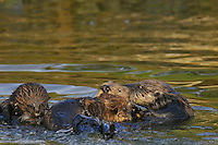 Sea Otter (Enhydra lutris) mother with young pup (middle) being investigated by two other sea otter.  Other sea otters often seemed curious about young pup.