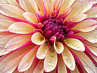 Dahlia (Gitts Crazy) close up. Oregon