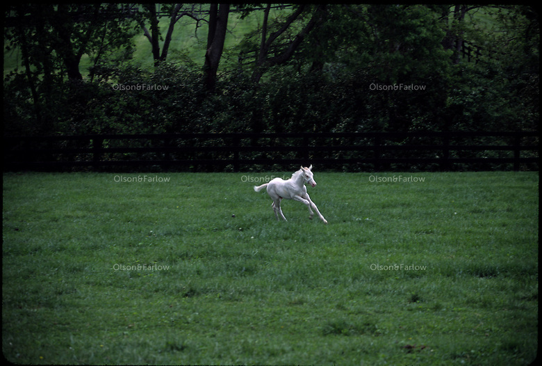 A white foal runs in the pasture at Patchen Wilkes farm are extremely rare in the world.  Only 16 white thoroughbreds have been recorded in the studbook in 107 years out of more than 1.7 million registered. The farm has bred several generations that are genetically bred to be white--not albino. <br /> The mare and foal descend from the first non-albino white thoroughbred registered in 1963--White Beauty. Patchen Beauty raced in the mid-1990s.