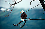 Bald eagle, Washington