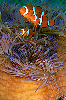 Eastern clownfish (Amphiprion percula) in it's anemone, Boston A20 Havoc WWII aircraft wreck site, Loloata, Bootless bay, Coral sea, Pacific ocean, Papua New Guinea, Asia