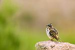 Rufous-collared Sparrow (Zonotrichia capensis), Ciudad de Piedra, Andes, western Bolivia