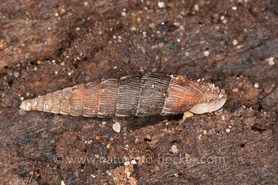 Mittlere Schließmundschnecke, Macrogastra lineolata, Macrogastra attenuata lineolata, Clausilia lineolata, Iphigena lineolata, lined door snail, Schließmundschnecken, Clausiliidae, door snails, clausiliids