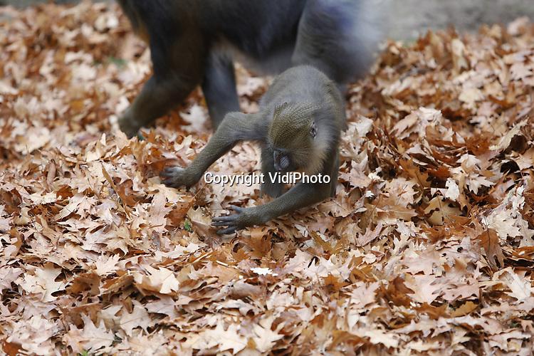Foto: VidiPhoto<br /> <br /> RHENEN &ndash; De mandrils van Ouwehands Dierenpark in Rhenen beleefden donderdag de dag van hun leven. Twee forse hopen herfstbladeren vormden het decor voor intensief speurwerk naar lekkernijen die tussen de bladeren verborgen waren. Zo hadden de dierverzorgers rozijnen, nootjes en andere kleine peuzelarijen in het bladafval verstopt. De dieren waren er tot groot vermaak van de bezoekers uren zoet mee. Het verstoppen van voedsel is een vorm van verrijking om zo het natuurlijk eet- en zoekgedrag te stimuleren.