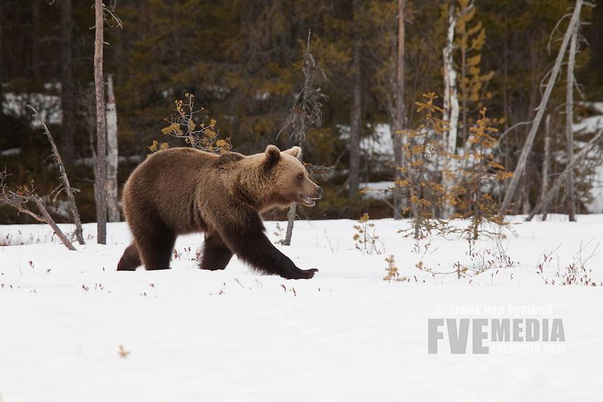 Eurasian Brown Bear in the snow.