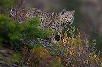 Bobcat watching through fall colors on the edge of a cliff - CA