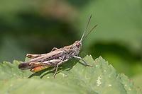 Brauner Grashüpfer, Feldheuschrecke, Männchen, Chorthippus brunneus, Glyptobothrus brunneus, Chorthippus bicolor, Stauroderus brunneus, field grasshopper, common field grasshopper, male, le criquet duettiste