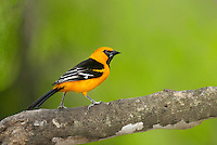 561820079 a wild altimara oriole icterus gularis perches in a tree at bentsen state park hidalgo county texas united states
