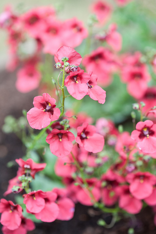 Diascia 'Coral Belle', mid August.