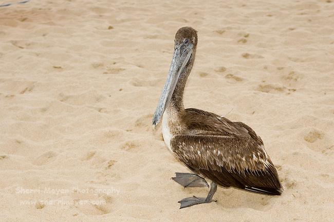 Pelican on the beach (playa) in Cabo San Lucas, Baja California, Mexico