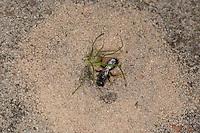 Große Zottelbiene, Trugbiene, Weibchen gräbt im Sandboden, Panurgus banksianus, Panurgus banksiana, Hairy Panurgus, Zottelbienen