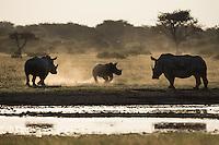 Energetic baby rhino running around