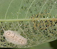 Milkweed Tussock moth caterpillar; Euchaetes egle; first instar and egg mass; on common milkweed;  Philadelphia, Schuylkill Center