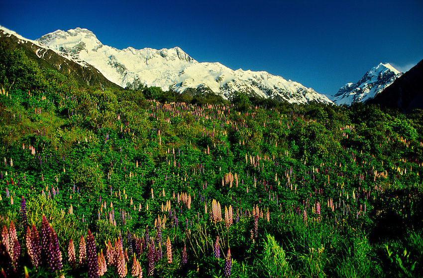 Mountain lupins (lupine), Mt. Cook National Park, south island, New Zealand
