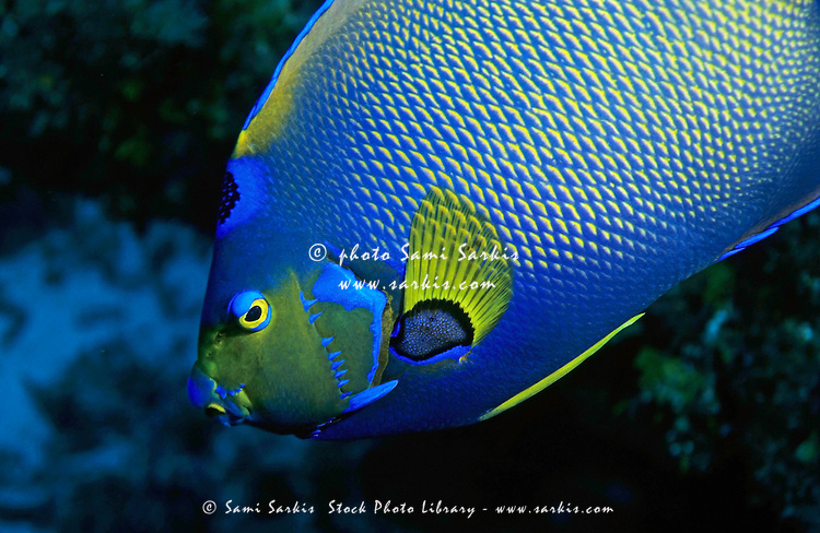 Portrait of brightly colored Queen Angelfish (Holacanthus ciliaris), Palancar Reef, Cozumel Island, Mexico.