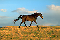 A horse trots across a pasture at dawn. animal, animals, livestock, horses.