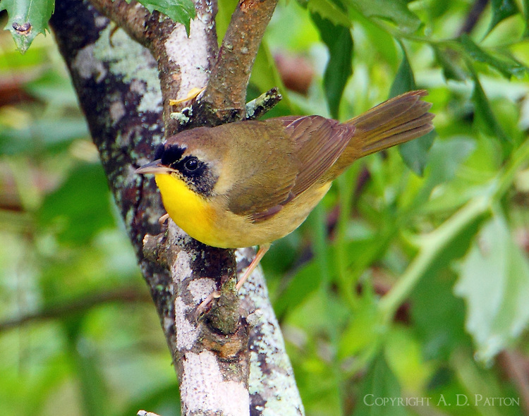 Common yellowthroat first spring male