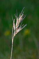 Viviparous Fescue Festuca vivipara. Similar to Red Fescue but an upland species, produces green bulbils, not flowers.