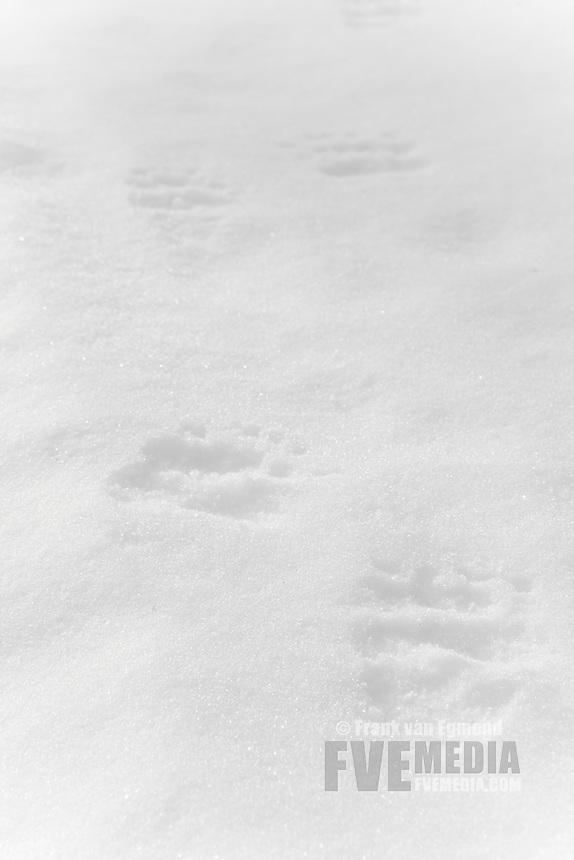 Eurasian Brown Bear tracks in the snow.