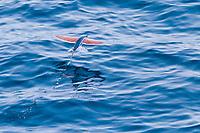 flying fish, Family: Exocoetidae, flying, Ascension Island, British Overseas Territory, South Atlantic Ocean