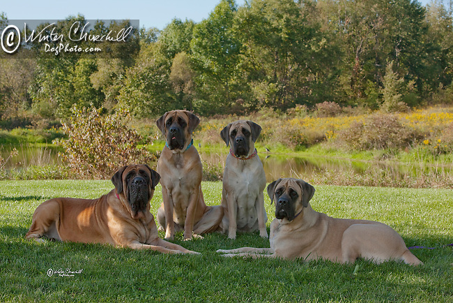 Mastiff<br /> <br /> <br />  Shopping cart has 3 Tabs:<br /> <br /> 1) Rights-Managed downloads for Commercial Use<br /> <br /> 2) Print sizes from wallet to 20x30<br /> <br /> 3) Merchandise items like T-shirts and refrigerator magnets