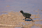 Common Moorhen (Gallinula chloropus), Squab running across muddy bank. Squabs as the young moorhen chicks are known, are alert, and stay close to parents especially in open areas. Omnivorous, feeds while swimming or walking on floating vegetation or land, especially damp Meadows. Habitat, Marsh, reed bed, small lakes.