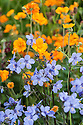 Orange Geum 'Princess Juliana' and blue Polemonium yezoense var. hidakanum 'Purple Rain', mid May.