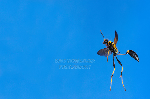 Black and yellow Mud Dauber (Sceliphron caementarium), female in flight, Comal County, Hill Country, Central Texas, USA
