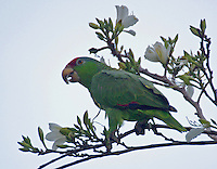 Red-crowned parrot eating buds in San Benito, TX