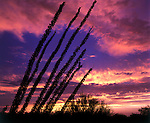 Ocotillo Sunset 16x12