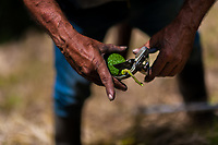A Colombian farm worker cuts off the stem of an avocado fruit at a plantation near Sonsón, Antioquia department, Colombia, 22 November 2019. Over the past decade, the Colombian avocado industry has experienced massive growth, both as a result of general economic development in Colombia, and the increased global demand for so-called superfood products. The geographical and climate conditions in Antioquia (high altitude, no seasonal extremes, high precipitation rate) allow two harvest windows of the Hass avocado variety across the year. Although the majority of the Colombian avocado exports are destined towards Europe now, Colombia aspires to become one of the major avocado suppliers to the U.S. market in the near future.