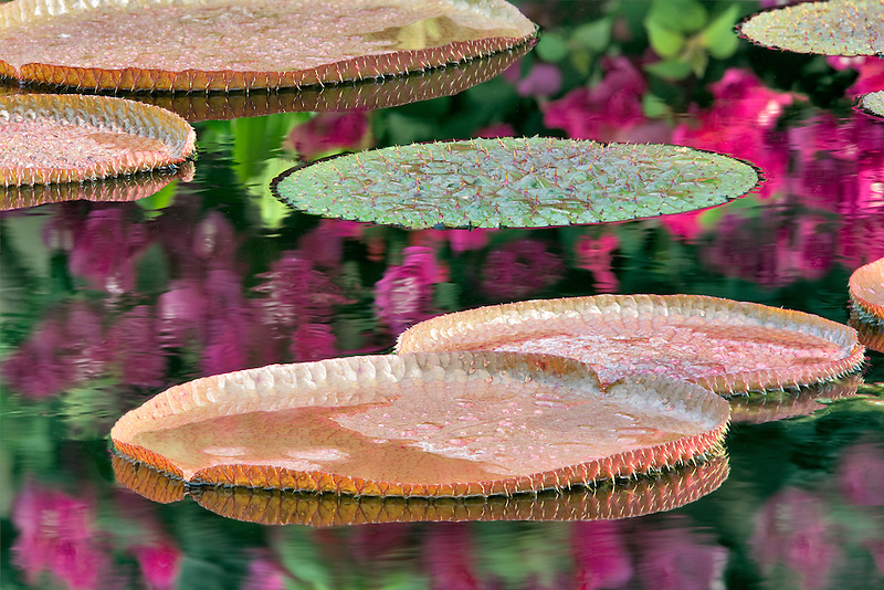 Tropical lily pads in pond with reflected bougainvillaea flowers. Hughes Water Gardens, Oregon