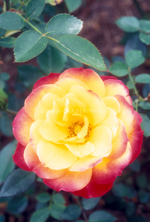 Rosa 'Rainbow's End' miniature roses yellow and orangered