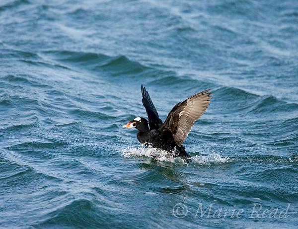 Surf Scoter (Melanitta perspicillata) adult male landing on water, Barnegat Inlet, New Jersey, USA