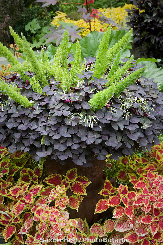Oxalis regnellii 'Atropurpurea', purple leaf shamrock in container with ornamental asparagus surrounded by bed colorful Coleus foliage