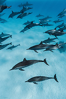 RZ0800-D. Spinner Dolphins (Stenella longirostris), very gregarious species often found in large groups. Wide ranging tropical species with long thin beak, capable of amazing spinning leaps high out of water. Egypt, Red Sea.<br /> Photo Copyright &copy; Brandon Cole. All rights reserved worldwide.  www.brandoncole.com