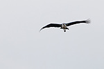 Marabou Stork (Leptoptilos crumeniferus) flying, Kruger National Park, South Africa