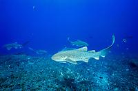 breeding zebra sharks Stegostoma fasciatum Brisbane, Queensland, Australia