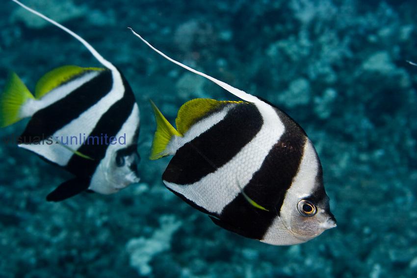 Pennant Bannerfish (Heniochus chrysostomus), Hawaii, USA.
