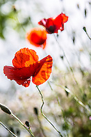 Found these poppies growing wild on a walk between two hill towns in Tuscany. (Photo by Travel Photographer Matt Considine)