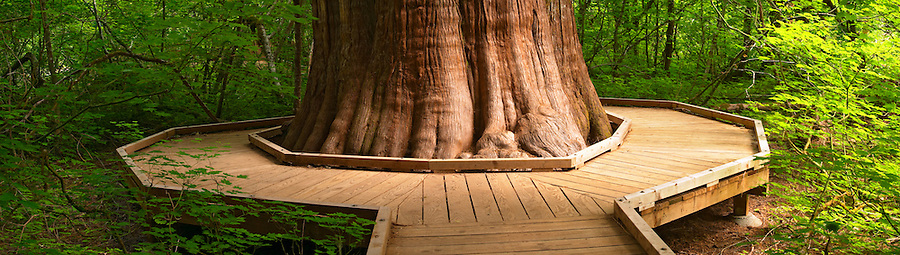 Wooden boardwalk wrapping around trunk of large cedar tree in the Grove of the Patriarchs, Mount Rainier National Park, Lewis County, Washington, USA