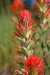 Bright red Indian Paintbrush flowers in a Montana National Forest