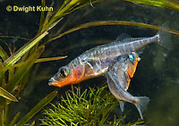 1S17-629z Male Threespine Sticklebacks defending territories, Mating colors showing bright red belly and blue eyes,  Gasterosteus aculeatus,  Hotel Lake British Columbia