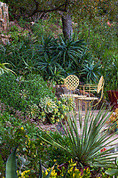 Aloe arborescens under Englemann oak with Aeoniums by patio and Dasylirion wheeleri in foreground. Debra Lee Baldwin Southern California backyard succulent garden